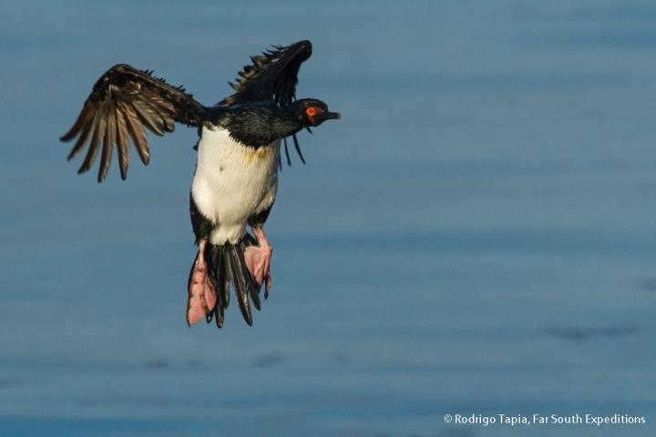 Magellanic Cormorant © Rodrigo Tapia