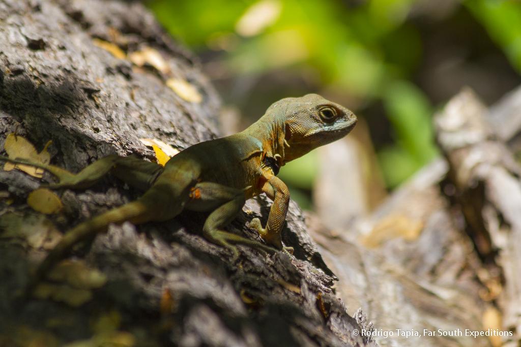 Grumbler Lizard, Araucania,Chile