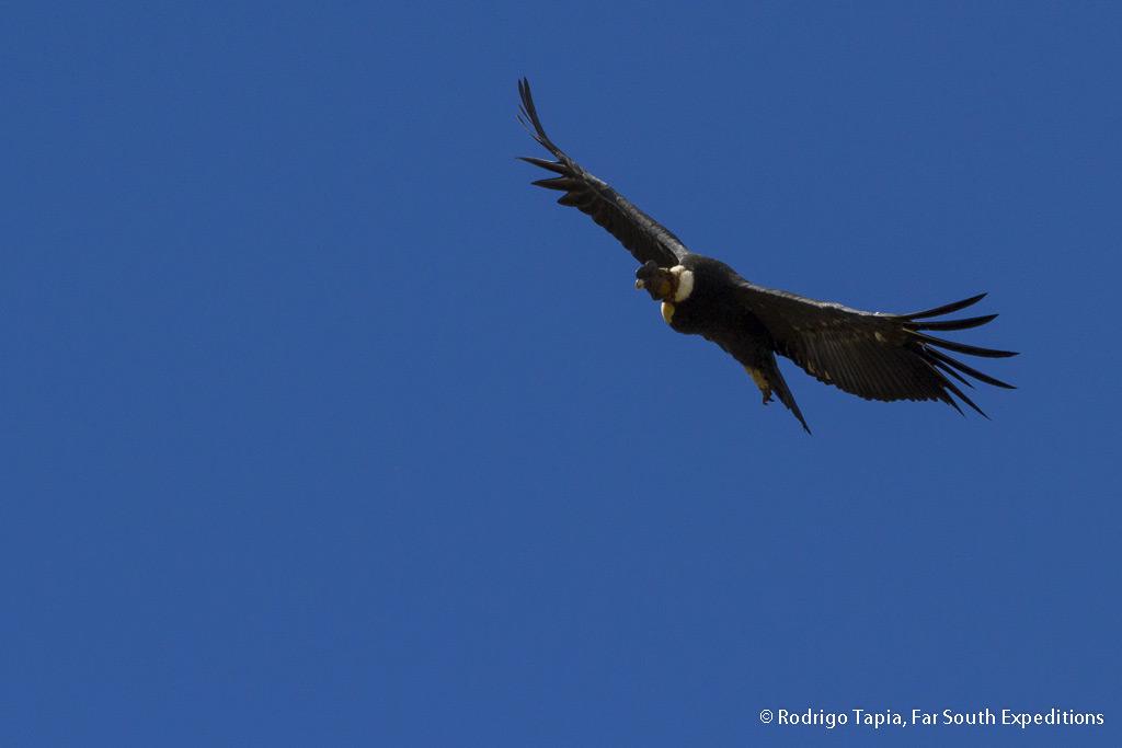 Andean Condor, Vultur gryphus, Magallanes,Chile