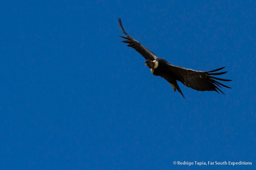 Andean Condor, Photo © Rodrigo Tapia, Far South Expeditions