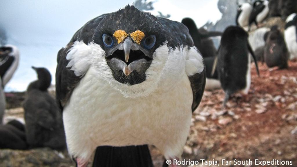 Antarctic Cormorant, Phalacrocorax bransfieldensis, Antarctica