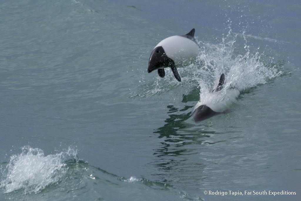 Commerson´s Dolphin, Cephalorhynchus commersonii, Tierra del Fuego,Chile