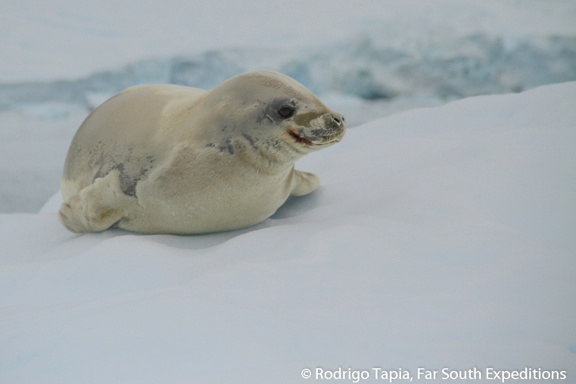 Crabeater Seal, Photo © Rodrigo Tapia, Far South Expeditions