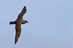 Kermadec Petrel, Pterodroma neglecta © Claudio F. Vidal, Far South Expeditions