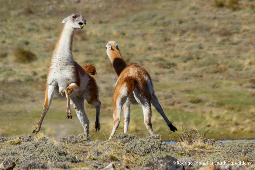 Guanaco, Photo © Rodrigo Tapia, Far South Expeditions