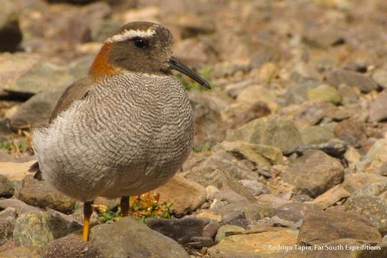 Diademed Sandpiper-Plover, Photo © Rodrigo Tapia, Far South Expeditions