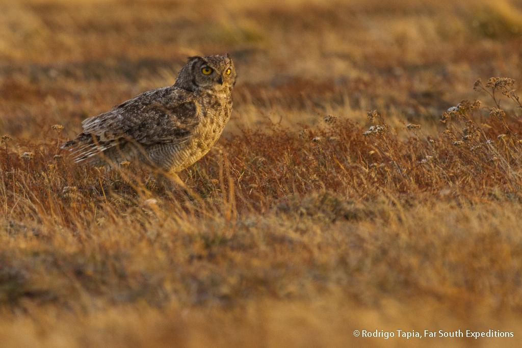 Magellanic Horned Owl, Bubo magellanicus, Tierra del Fuego,Chile