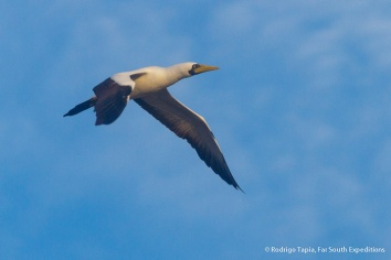 Masked Booby, Sula dactylatra © Rodrigo Tapia, Far South Expeditions