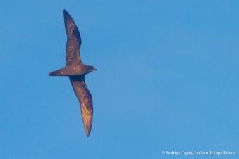 Henderson Petrel, Pterodroma atrata © Rodrigo Tapia, Far South Expeditions