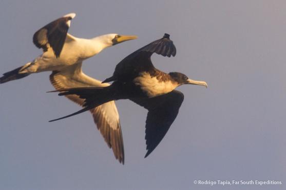 Great Frigatebird, Fregata minor (front) & Masked Booby, Sula dactylatra