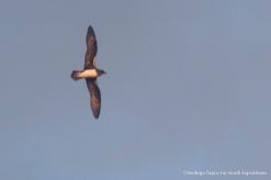 Phoenix Petrel, Pterodroma alba © Rodrigo Tapia, Far South Expeditions