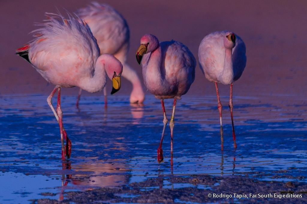 Puna Flamingo, Phoenicoparrus jamesi, Antofagasta,Chile