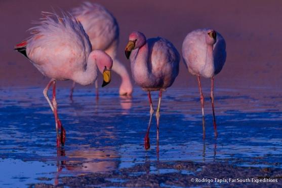 Puna Flamingo, Photo © Rodrigo Tapia, Far South Expeditions