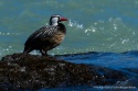 Torrent Duck, Photo © Rodrigo Tapia, Far South Expeditions