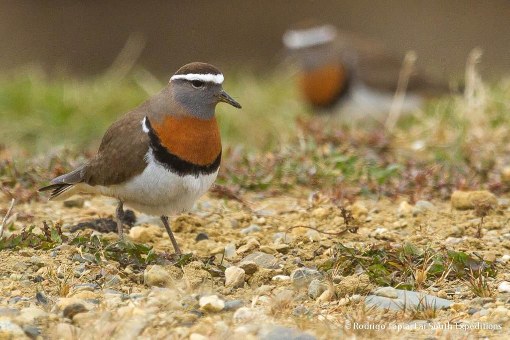 Rufous-chestedDotterel, Photo © Rodrigo Tapia, Far South Expeditions