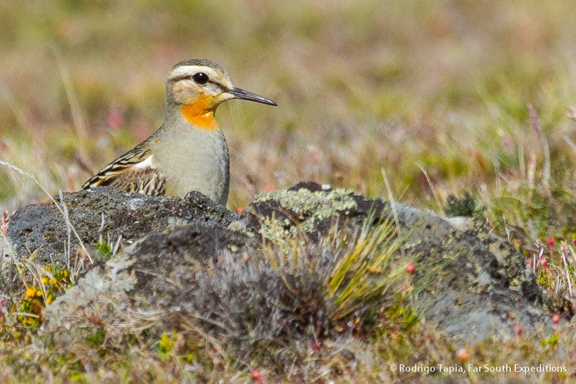 Tawny-throated Dotterel, Photo © Rodrigo Tapia, Far South Expeditions