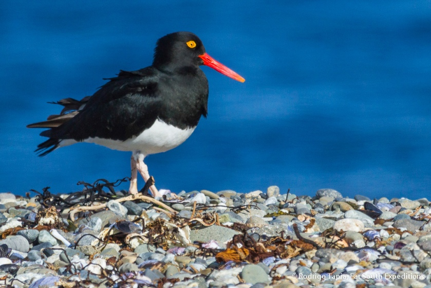 Magellanic Oystercatcher, Photo © Rodrigo Tapia, Far South Expeditions