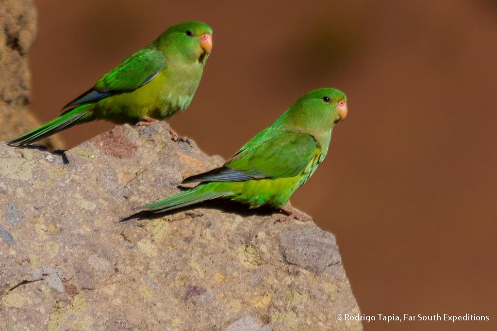 Mountain Parakeet, Psilopsiagon aurifrons, Atacama Desert,Chile