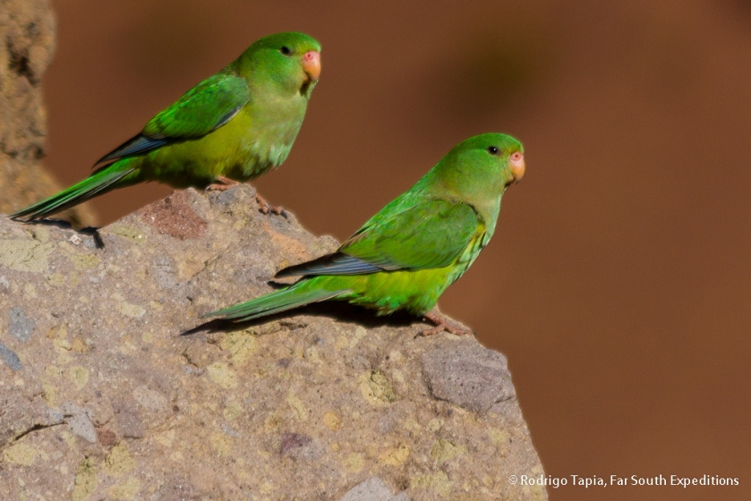 Mountain Parakeet, Photo © Rodrigo Tapia, Far South Expeditions