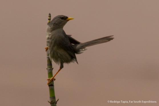 Slender-billed Finch, Photo © Rodrigo Tapia, Far South Expeditions
