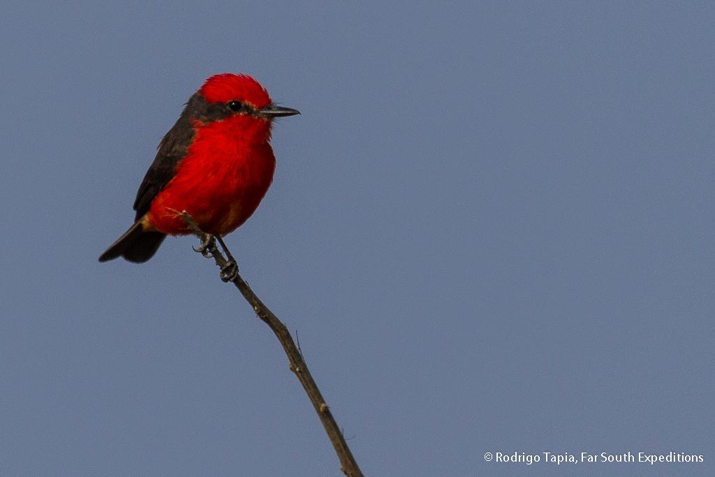 Vermilion Flycatcher, Pyrocephalus rubinus, Arica,Chile