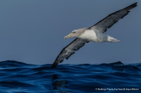 Salvin's Albatross, Photo © Rodrigo Tapia, Far South Expeditions
