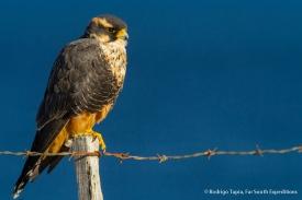 Aplomado Falcon, Photo © Rodrigo Tapia, Far South Expeditions