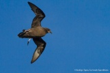 Murphy's Petrel, Pterodroma ultima © Rodrigo Tapia, Far South Expeditions