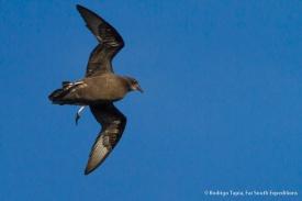 Murphy's Petrel, Pterodroma ultima © Rodrigo Tapia, Far South Expeditions