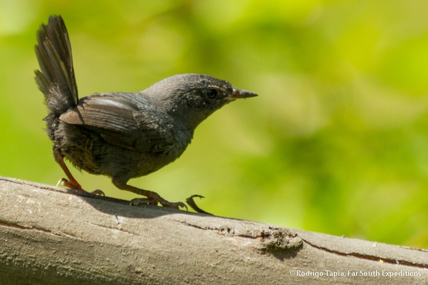 Dusky Tapaculo, Photo © Rodrigo Tapia, Far South Expeditions
