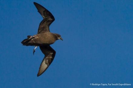 Murphy's Petrel, Photo © Rodrigo Tapia, Far South Expeditions