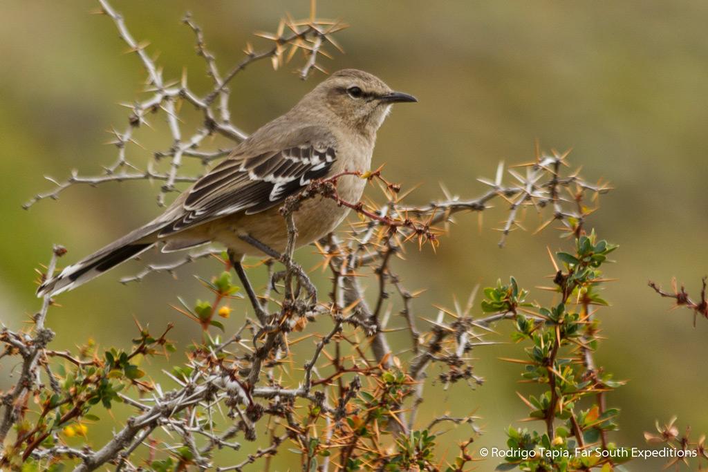 Patagonian Mockingbird, Mimus patagonicus, Magallanes, Patagonia,Chile