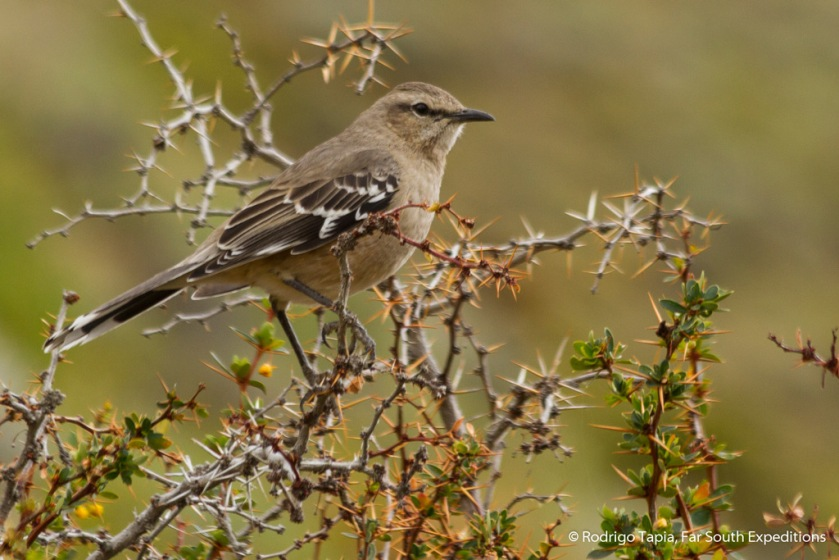 Patagonian Mockingbird Mimus patagonicus, Photo © Rodrigo Tapia, Far South Expeditions