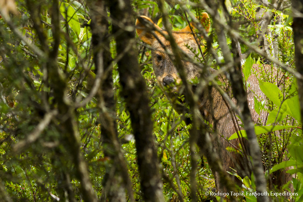 Pudu Deer, Pudu pudu, Chiloe Island,Chile