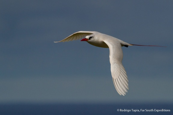 Red-tailed Tropicbird, Photo © Rodrigo Tapia, Far South Expeditions