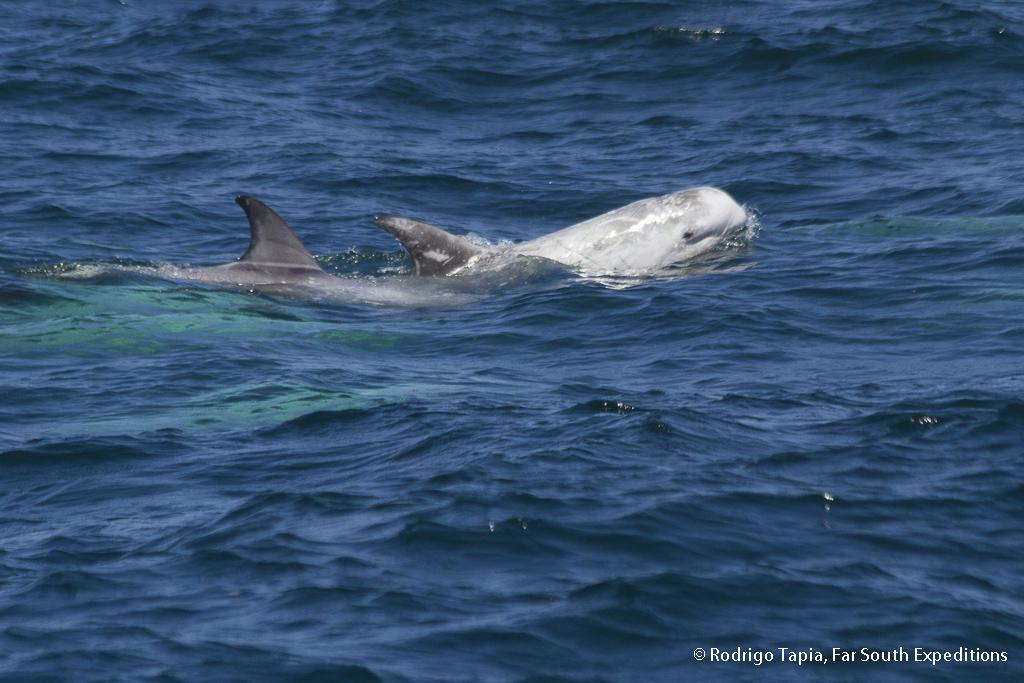 Risso's Dolphin, Grampus griseus, Valparaiso,Chile