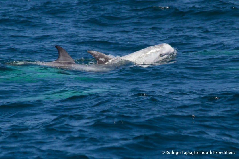Risso's Dolphin, Photo © Rodrigo Tapia, Far South Expeditions