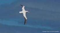 Southern Royal Albatross, Photo © Rodrigo Tapia, Far South Expeditions