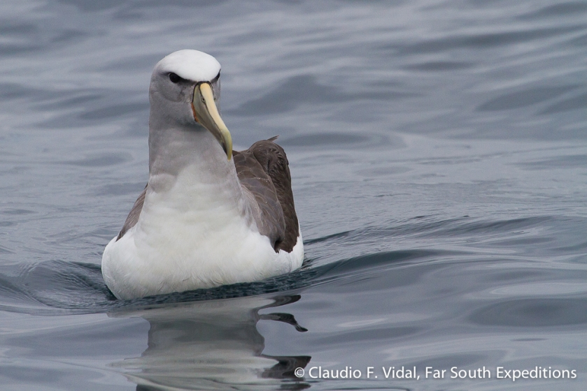Salvin's Albatross, Thalassarche salvini, off Valparaiso, Chile - March 2015