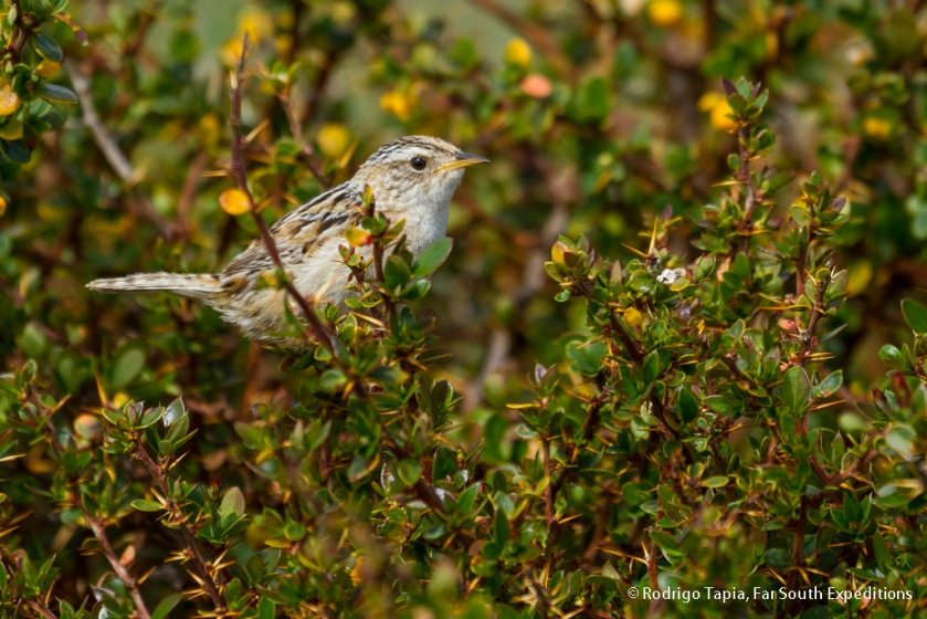 Sedge Wren, Photo © Rodrigo Tapia, Far South Expeditions