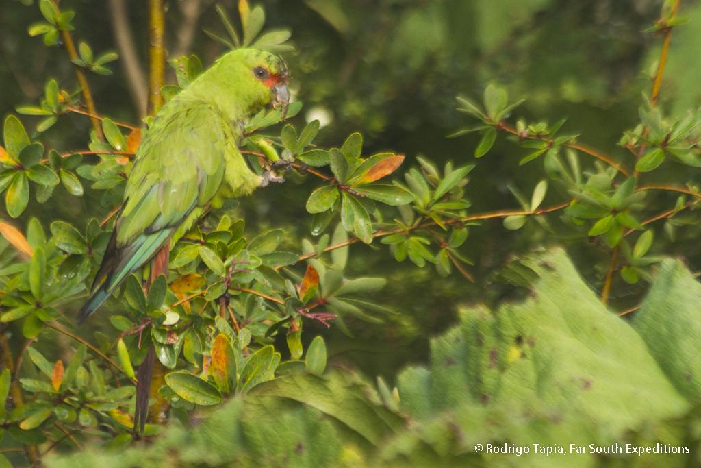 Slender-billed Parakeet, Enicognathus leptorhynchus, Chiloe Island,Chile