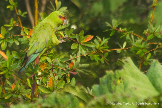 Slender-billed Parakeet, Photo © Rodrigo Tapia, Far South Expeditions
