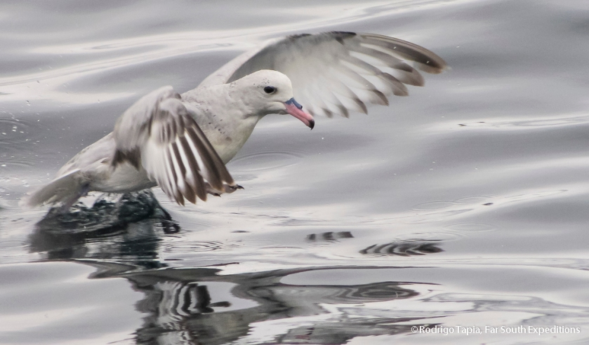 Southern Fulmar, Photo © Rodrigo Tapia, Far South Expeditions