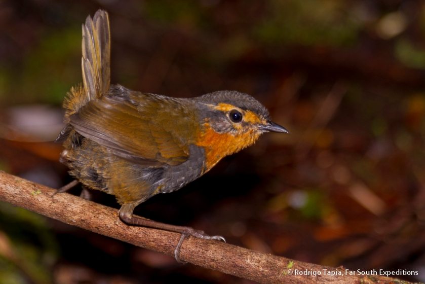 Chucao Tapaculo, Photo © Rodrigo Tapia, Far South Expeditions