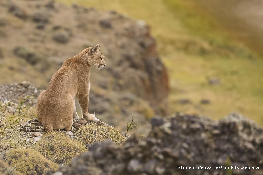 Puma, Puma concolor, Torres del Paine NP, Patagonia,Chile