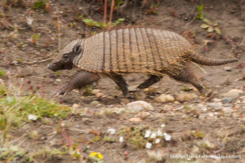Patagonian Hairy Armadillo, Photo © Rodrigo Tapia, Far South Expeditions