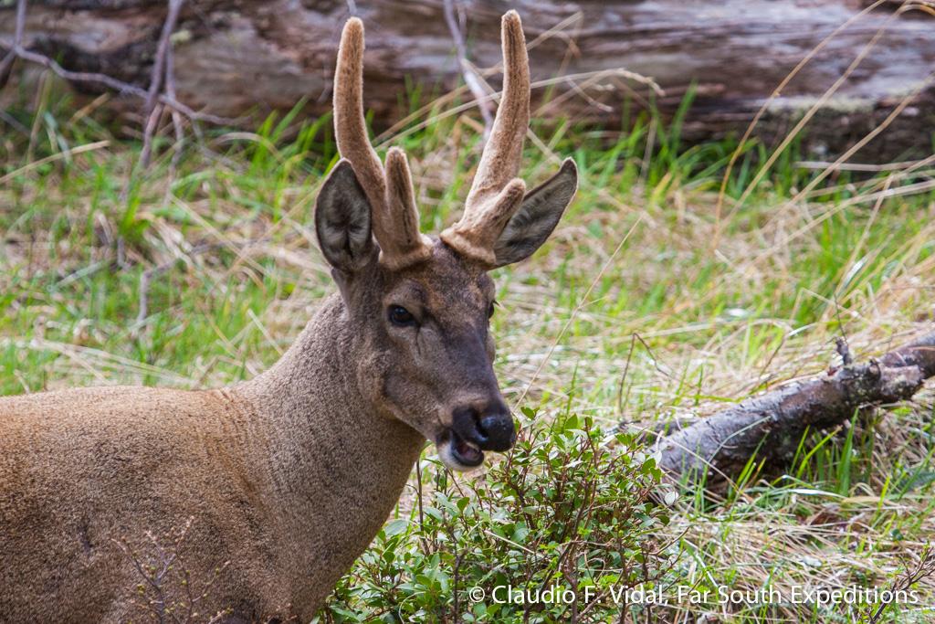 Southern Huemul Deer, Photo © Claudio F. Vidal, Far South Expeditions