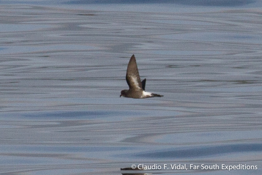 Pincoya Storm Petrel, Photo © Claudio F. Vidal, Far South Expeditions