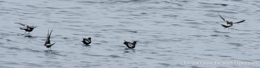 Pincoya Storm Petrel, Gulf of Corcovado, March 2007, Photo © Enrique Couve, Far South Expeditions