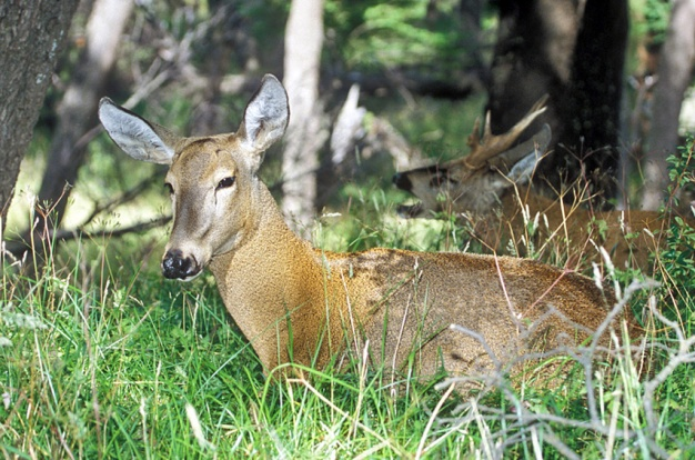 Southern Huemul Deer, Photo © Enrique Couve, Far South Expeditions